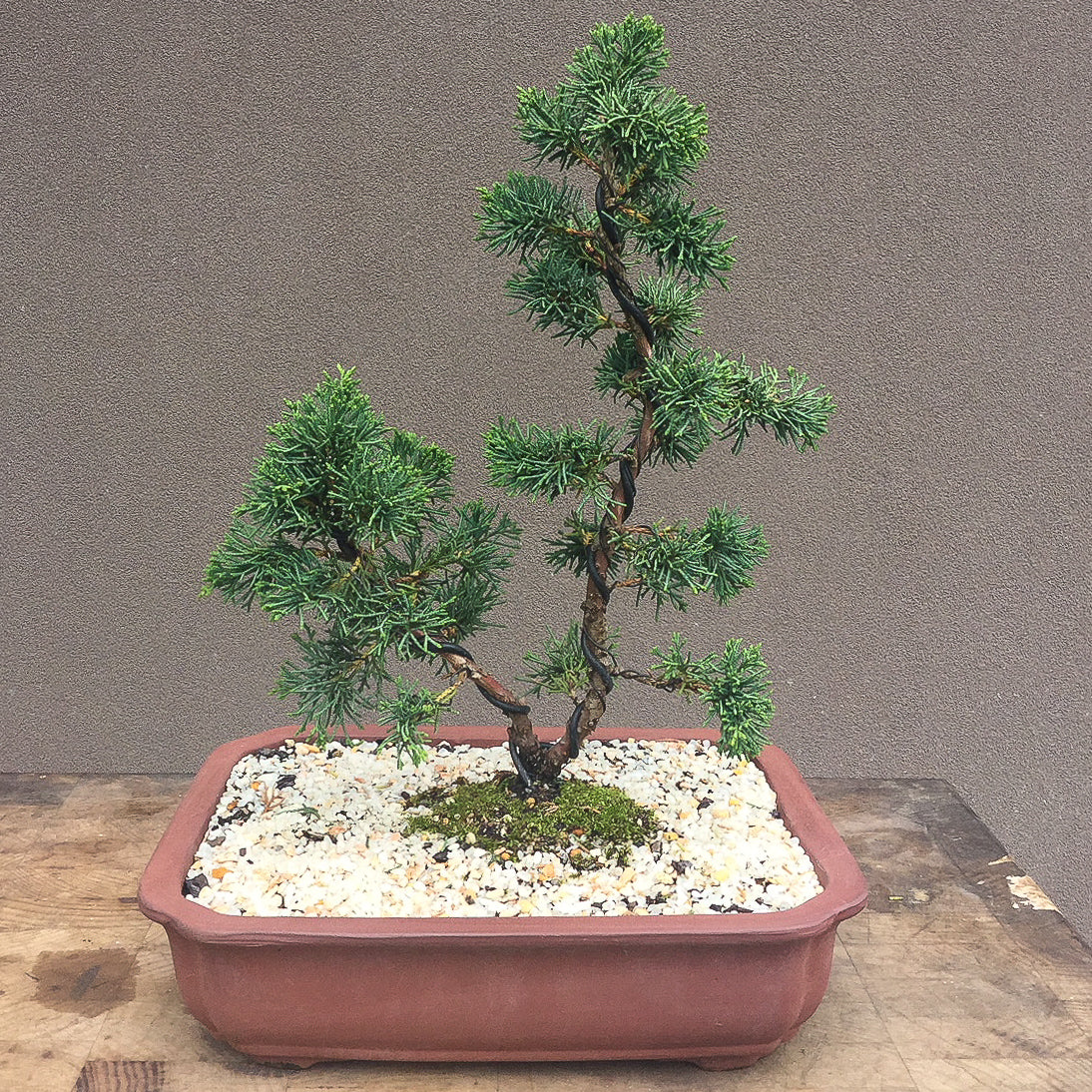 Bonsai Workshop - Beginners