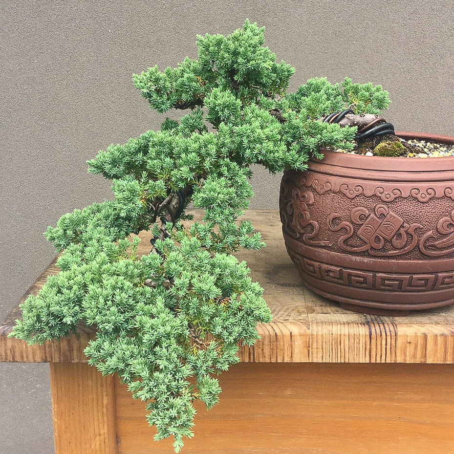 Bonsai Course - Beginners Stage 2