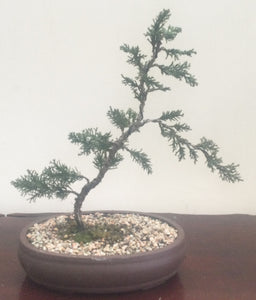 Bonsai Plant - Shimpaku Juniper 2010