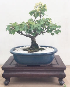 Bonsai Plant - Taiwan maple 1980