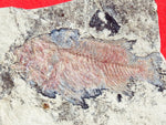Fossil Cichlid, Middle Eocene, Mahenga, Tanzania Ref. MHG-9 This fossil is 'ON HOLD""