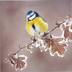 Blue Tit Christmas Cards (120mm x 120mm)