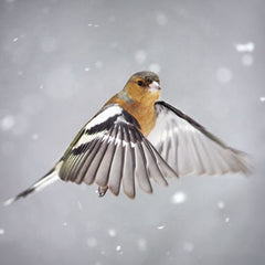 Chaffinch Christmas Cards (153mm x 153mm)