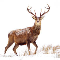 Red Deer Christmas Cards (153mm x 153mm)