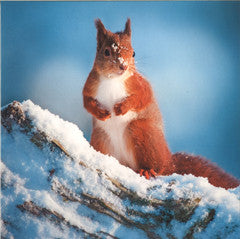 Red Squirrel Christmas Cards (153mm x 153mm)