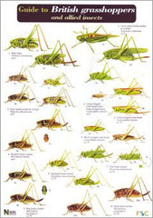 British Grasshoppers & Allied Insects