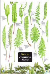 Common Ferns