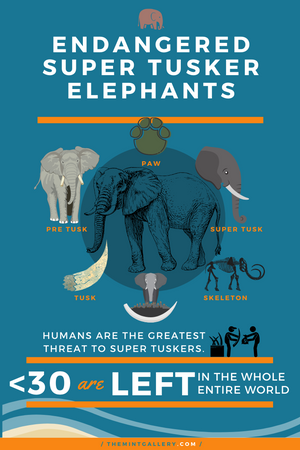Endangered Super Tusker Elephants