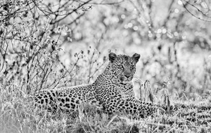 Bahati the Leopard by Teeku Patel