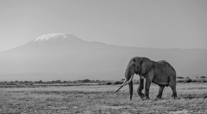 (Tim) Last of the Big Tuskers by Teeku Patel