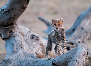 Cheetah Cub by Teeku Patel