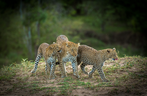 Bahati and Cubs by Teeku Patel