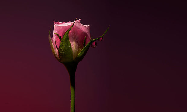 Rose Shot Sample