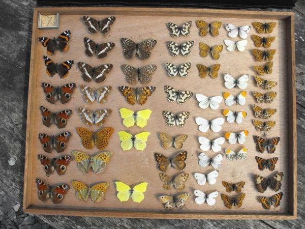 A Fine Early 20th Century Lepidopterist Display Case