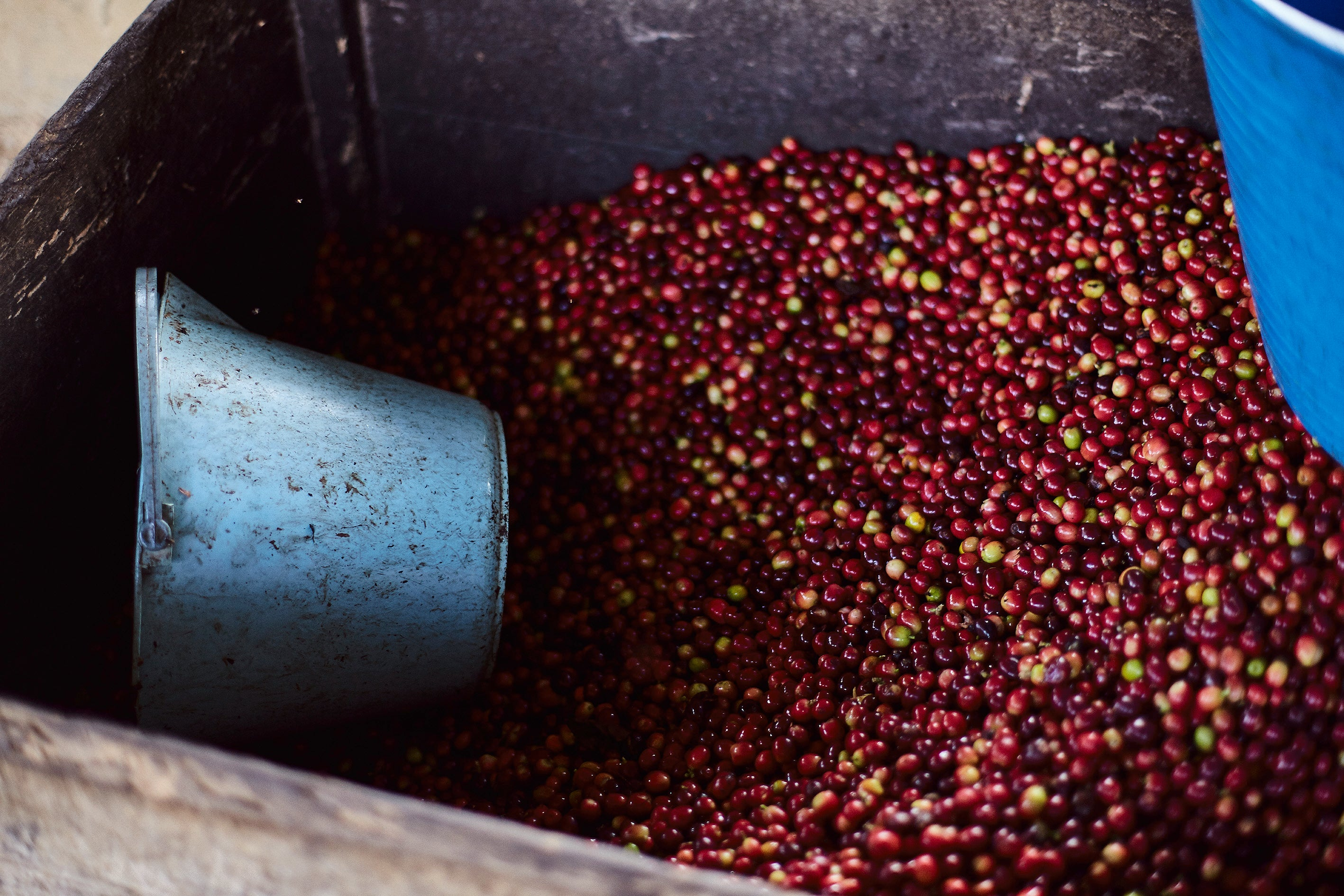 Coffee Cherries for Pulping. Huila. 2016. - 10X8