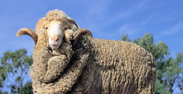 Merino wool, better wool