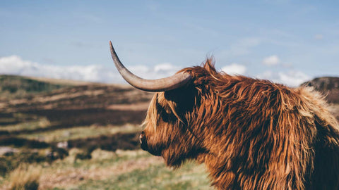 Urban Coo Highland Cow Image Home Page