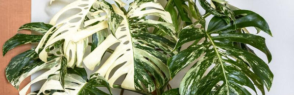EVERYTHING YOU WANTED TO KNOW ABOUT VARIEGATED PLANTS