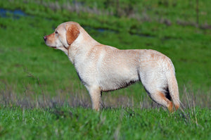 labrador dog standing in a field looking to the left into the distance