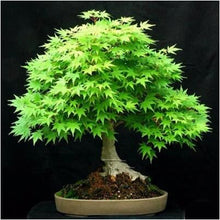 Load image into Gallery viewer, Maple Tree America Bonsai
