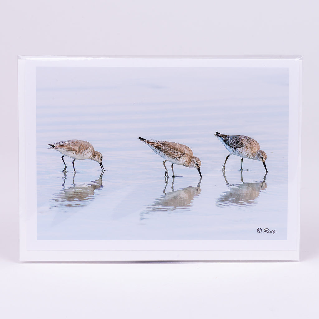 White Rumped Sandpipers Photographic Notecard