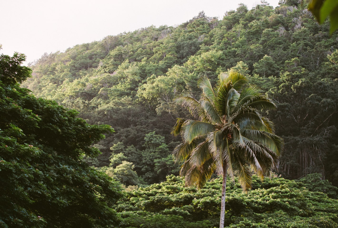 lucious green palm trees in Oahu, Hawaii
