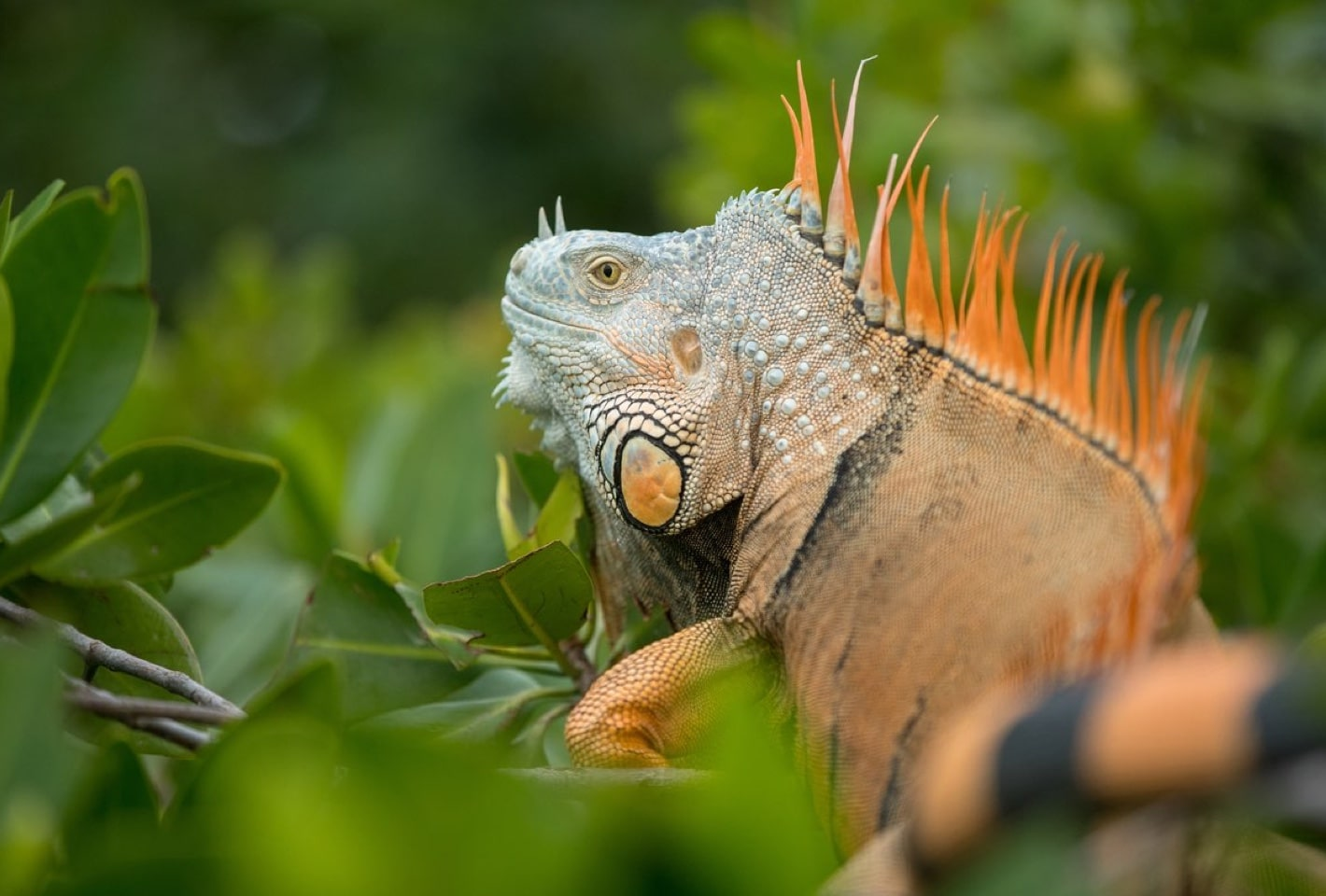 Belize green iguana