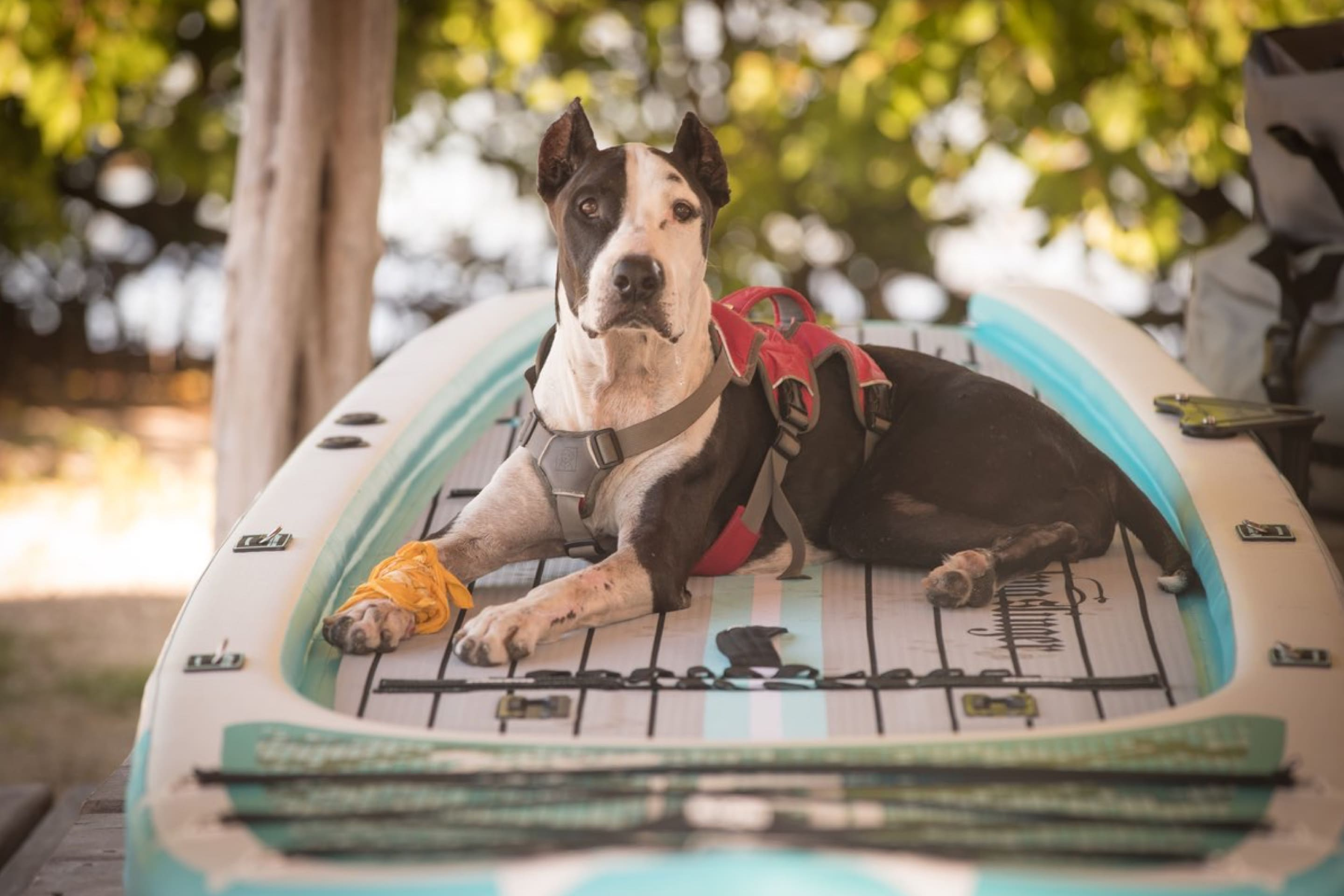 Dog lounging on a Bug Slinger™ BOTE Rackhamn inflatable paddle board