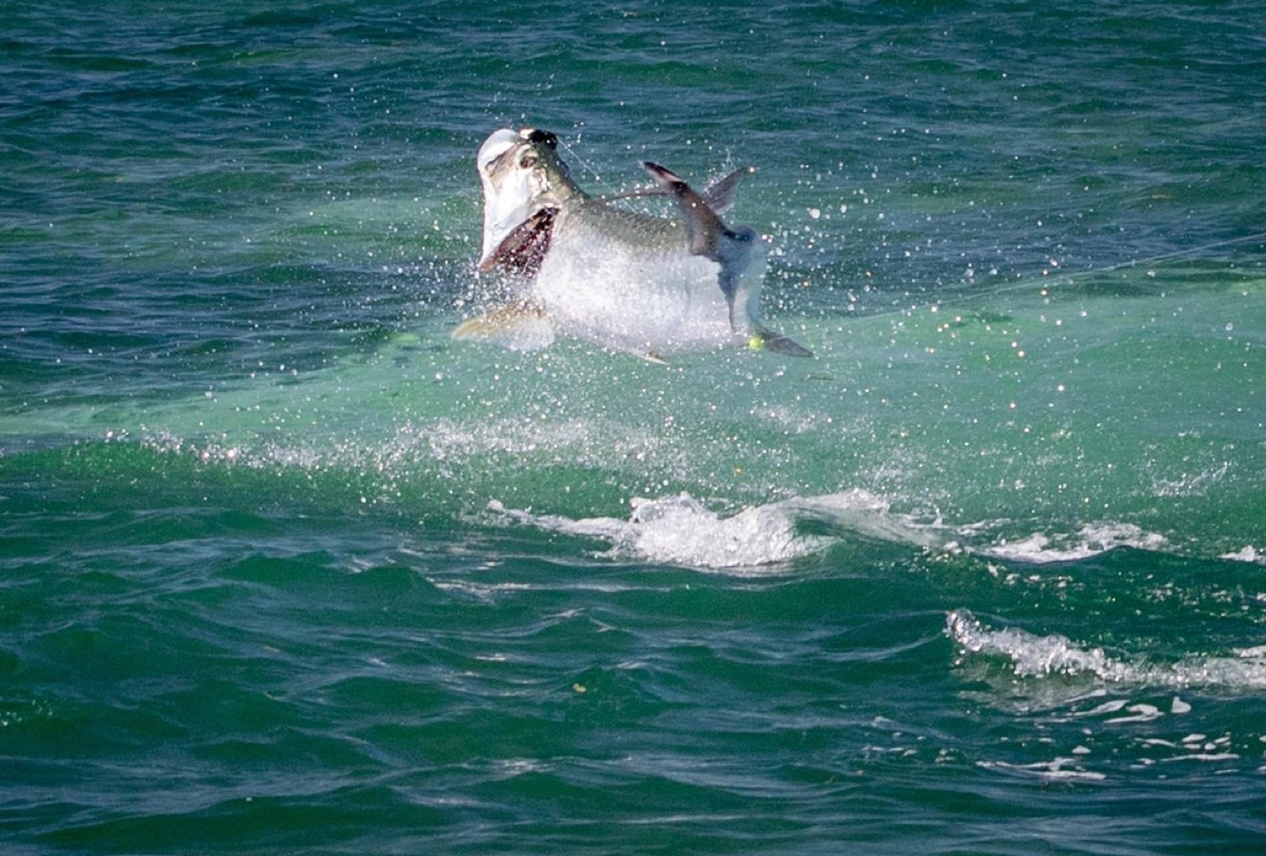 Tarpon Jumping Out of The Water