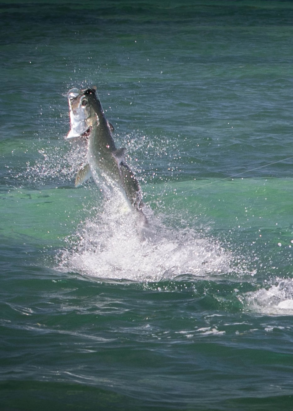 keys tarpon jumping out of water