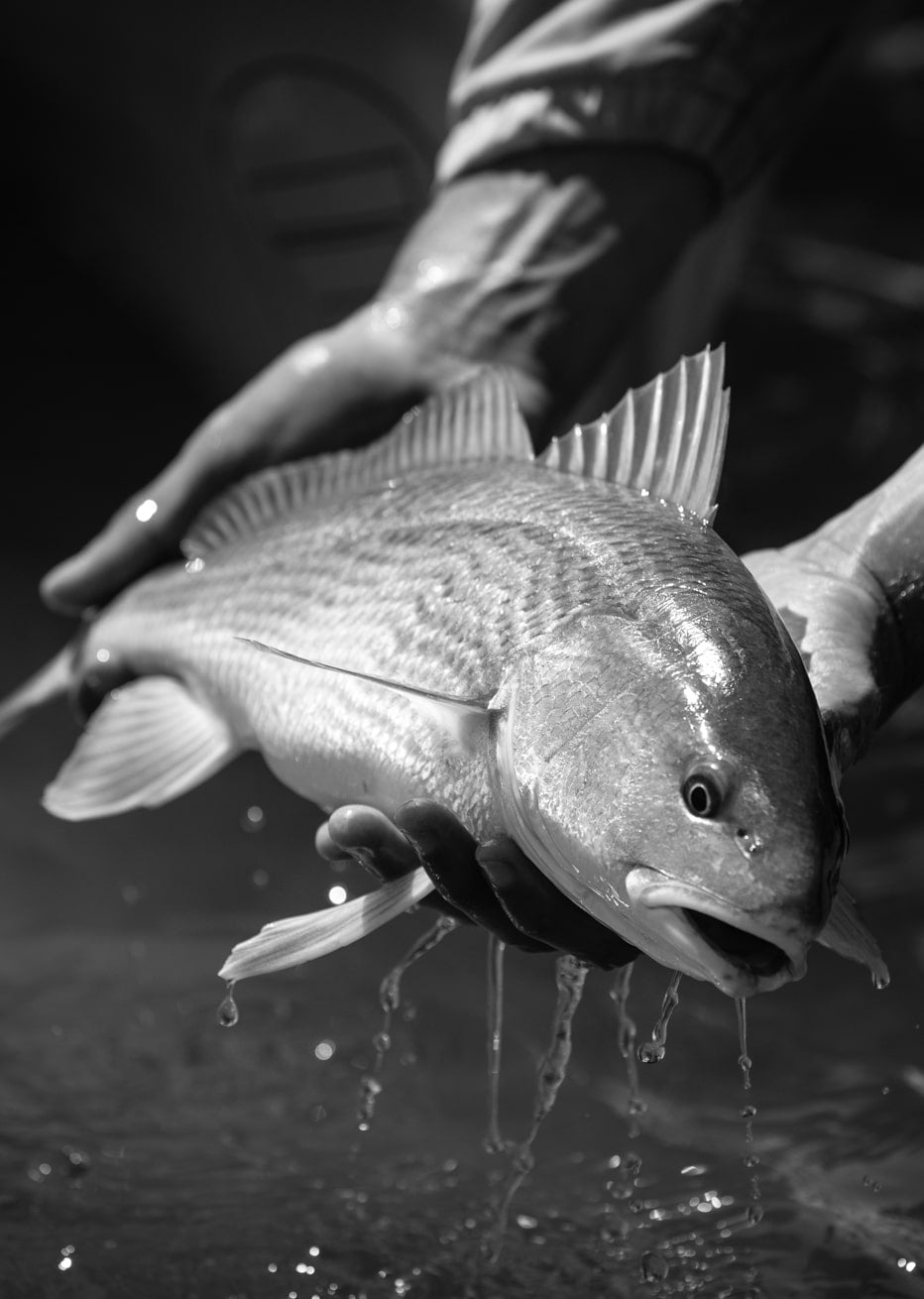 redfish black and white