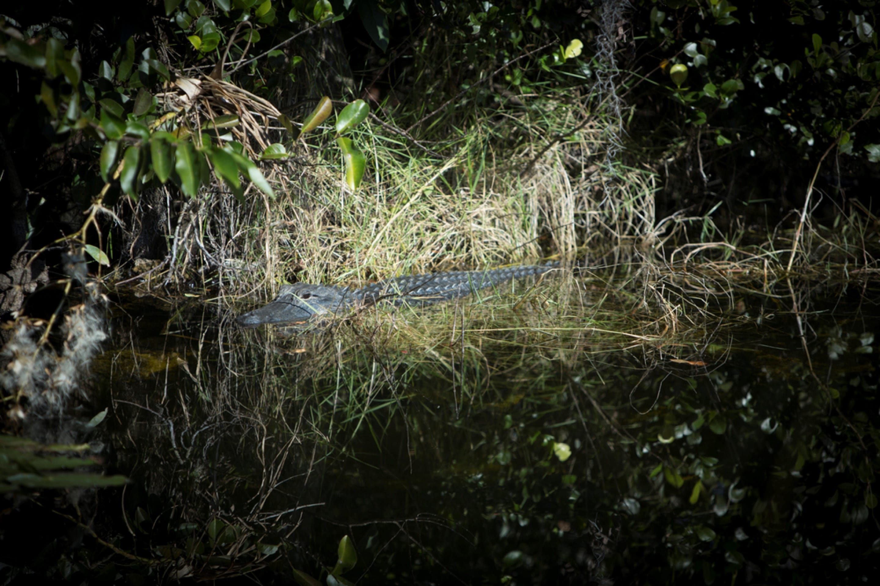 alligator in the everglades at night
