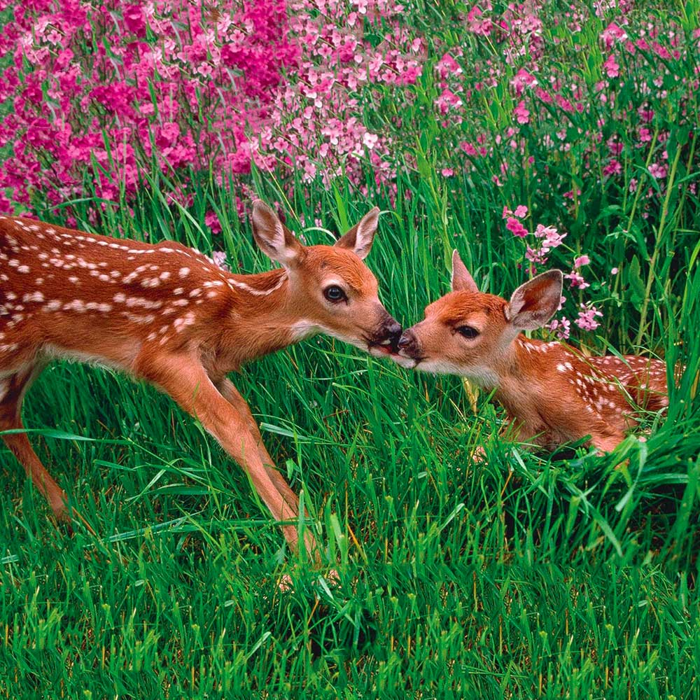 Image of two fawns sharing a kiss among pink flowers and tall green grass