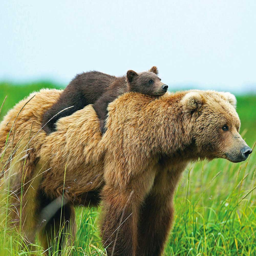 Image of baby brown bear cub on top of a mama bear