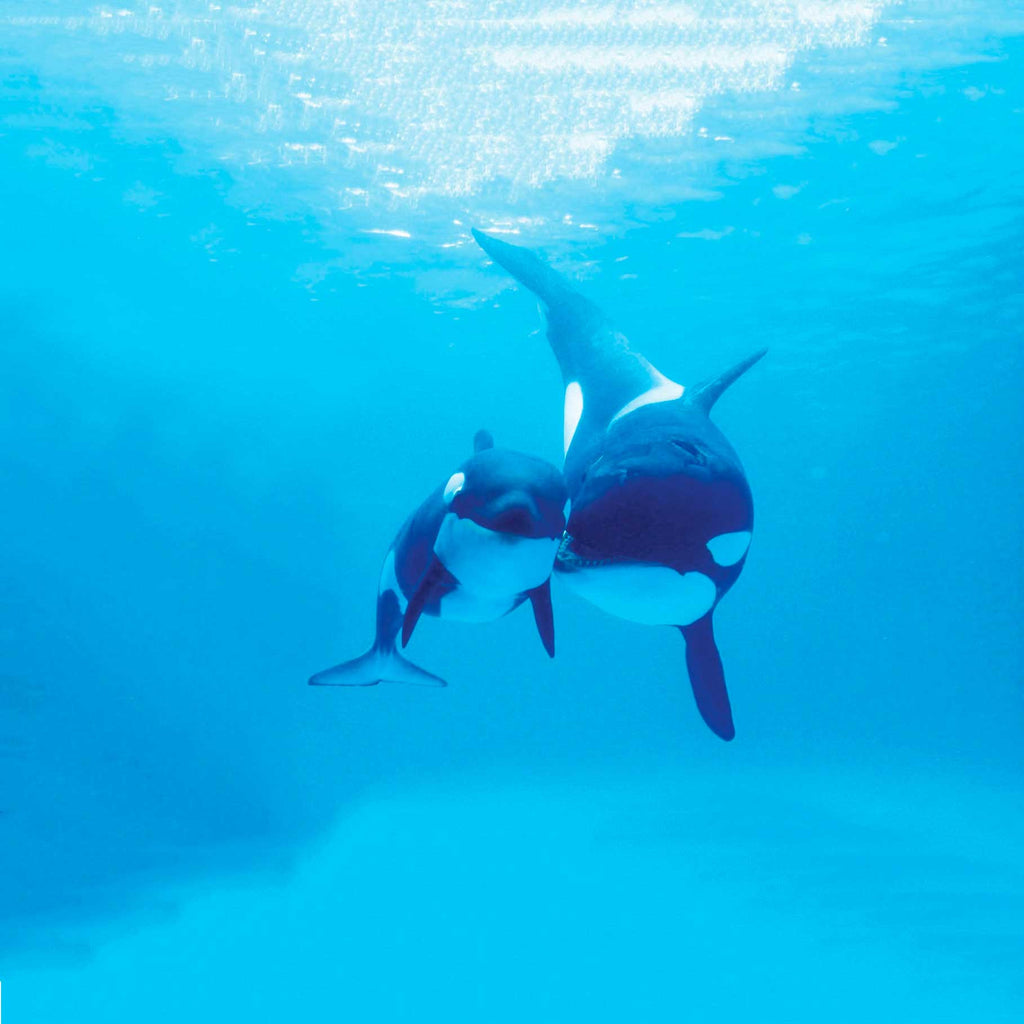 Image of an orca whale and her calf