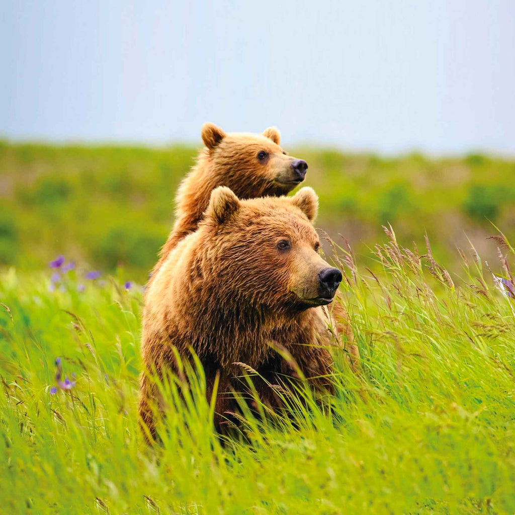 Image of mama bear and baby bear cub on her back in tall grass