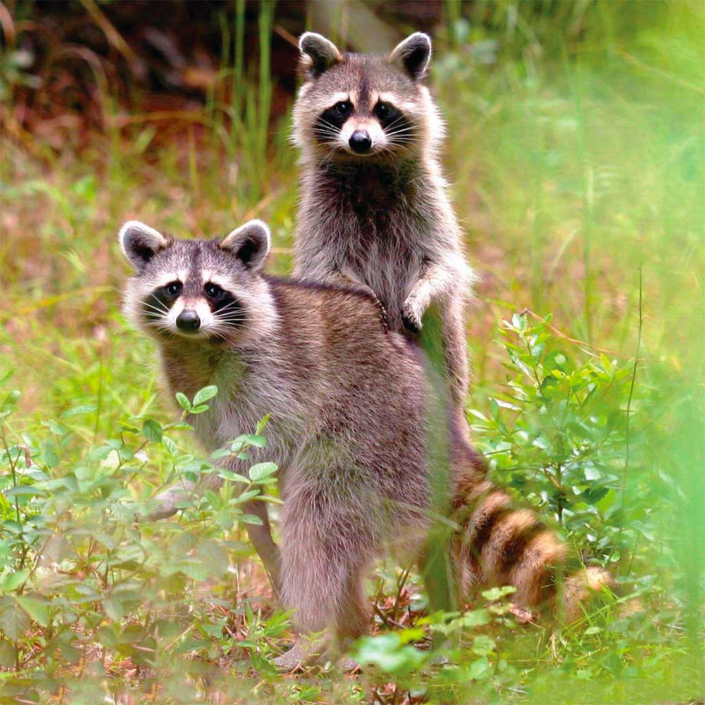 Image of two raccoons
