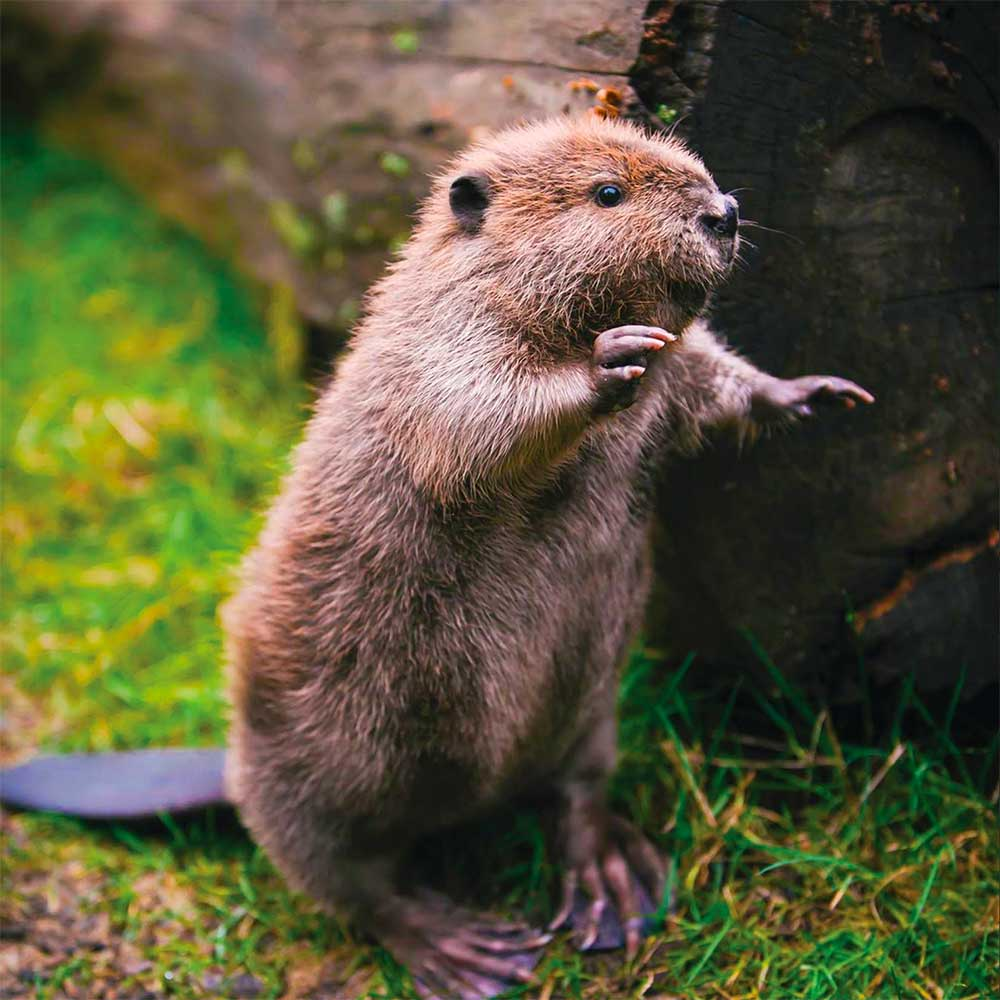 Image of a cute beaver