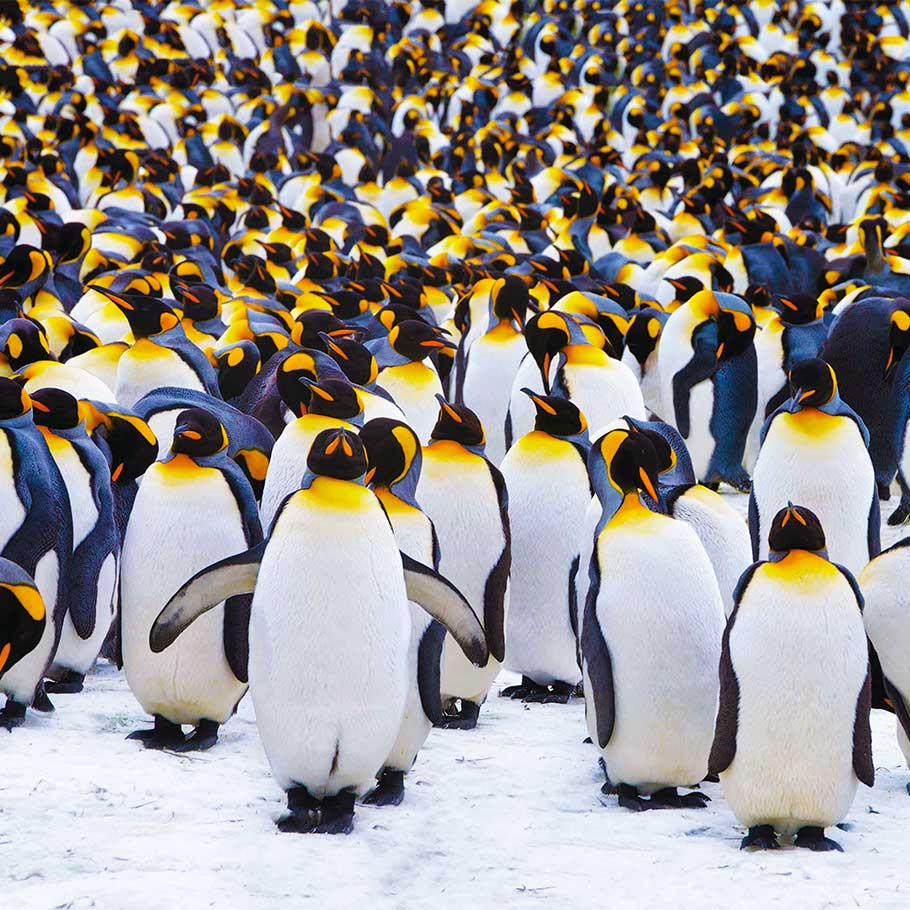 Image of a group of penguins