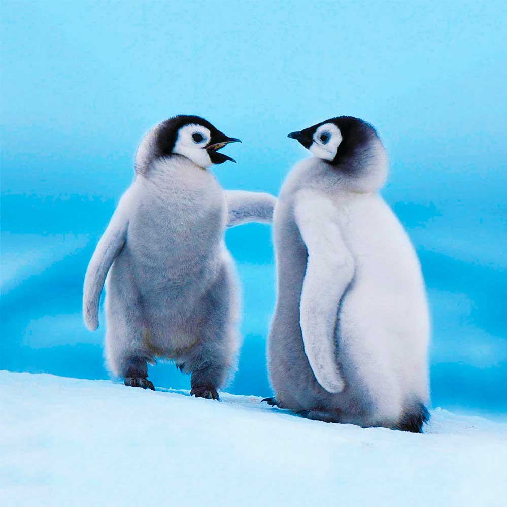 Image of two baby penguin chicks