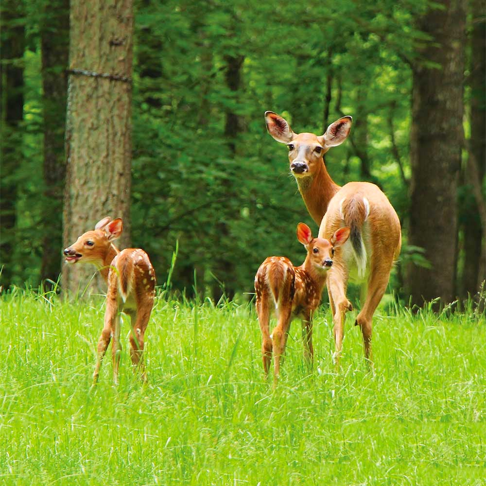 Image of a doe and fawn standing in a green field
