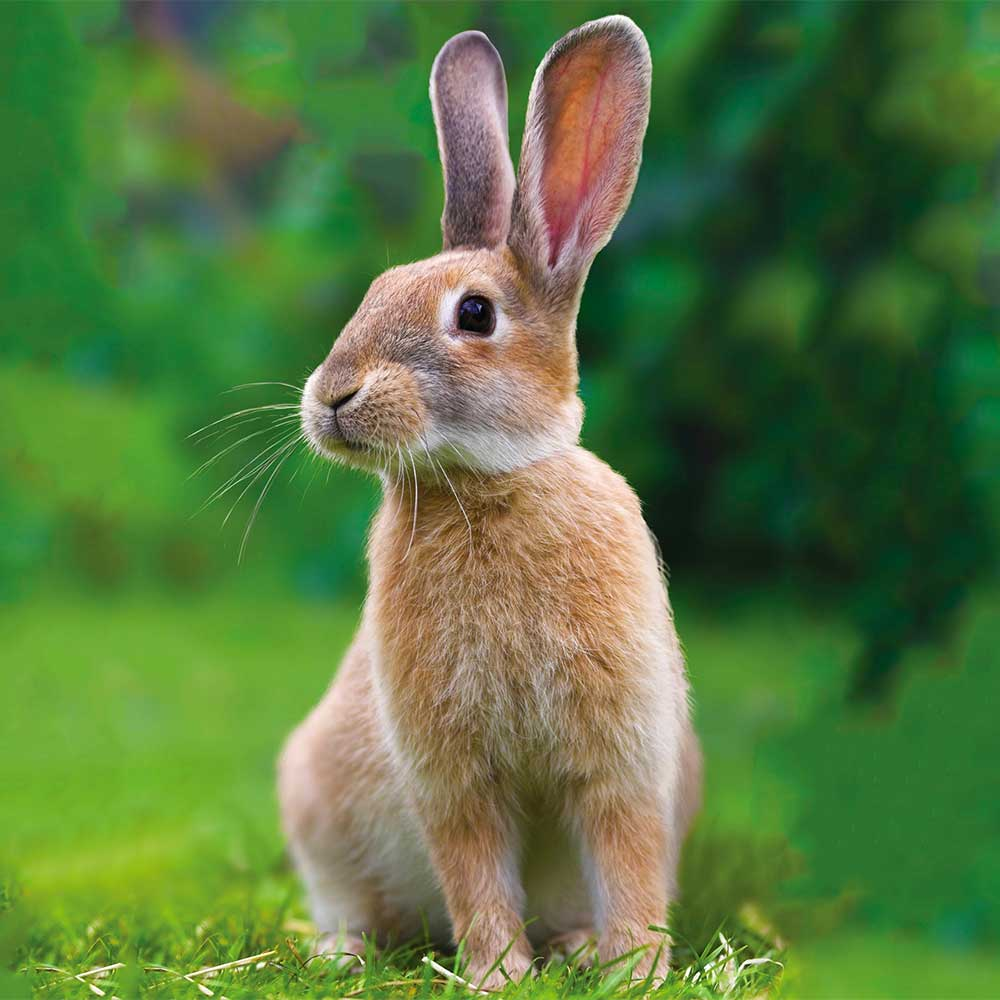 Image of bunny rabbit