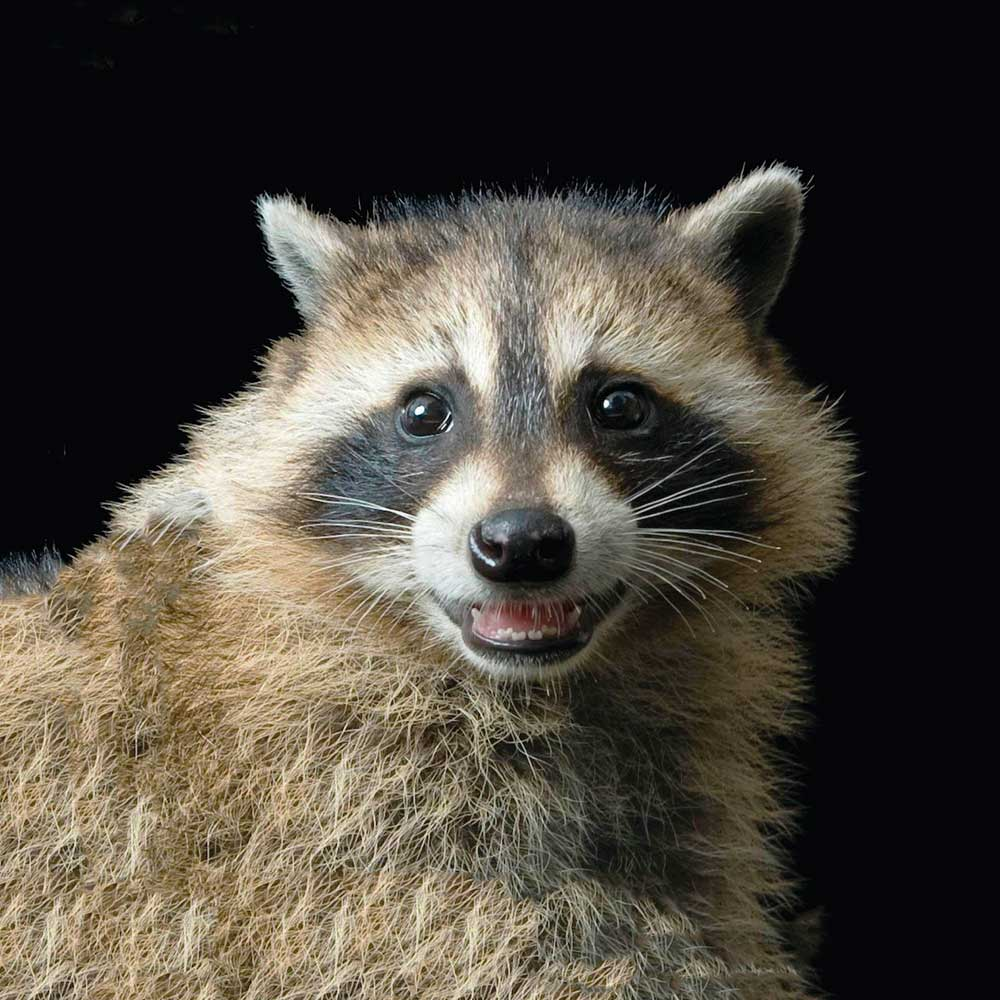 Image of a raccoon smiling