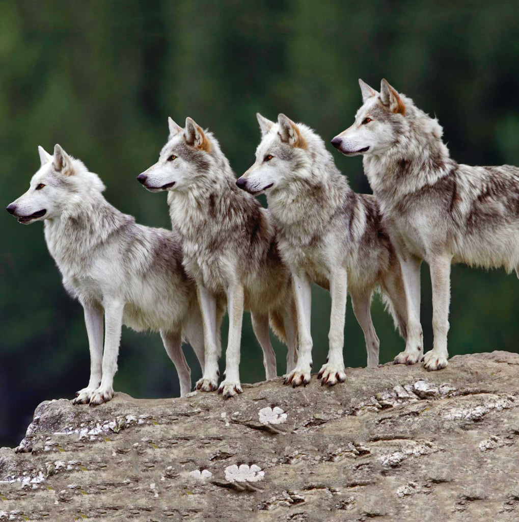 Image of four wolves on a rock face