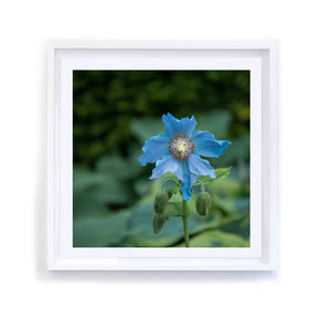 Himalayan Blue Poppy, Framed