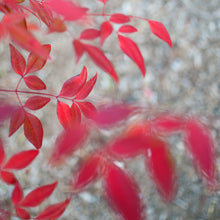 Load image into Gallery viewer, Red Leaves 1, Framed