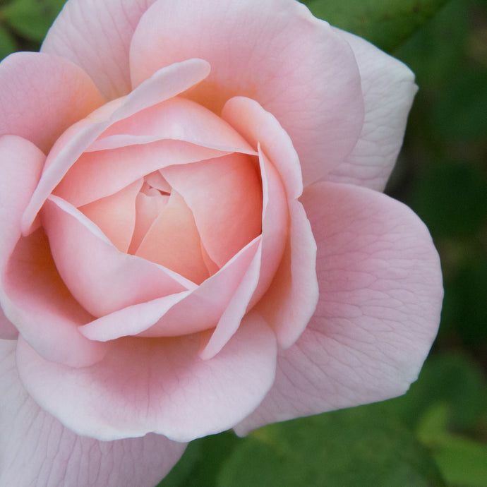 Pink Rose Unfolding
