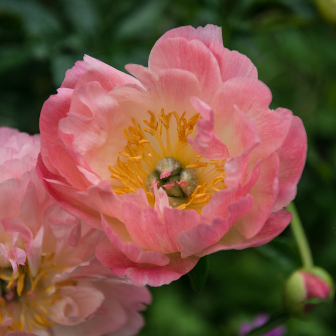 Iceland Poppy, Champagne Bubbles, 2