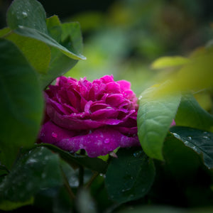 Morning Magenta Rose