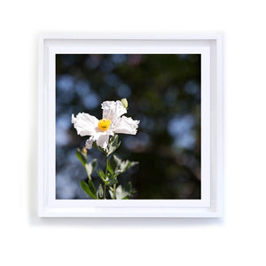 Matilija Poppy, Framed